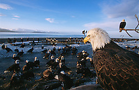 American bald eagles, Haliaeetus leucocephalus, on beach.