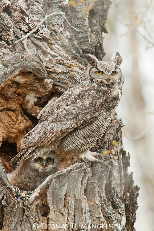 A great horned owl perches on the edge of its nest in a cottonwood hollow while its chick looks out from below its parent's tail feathers in Grand Teton National Park, Wyoming.