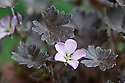 Pale pink flowers and distinctive purple-brown foliage of Geranium 'Chocolate Candy', late May
