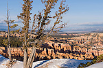 Bryce Canyon National Park, Utah; Bristlecone Pine (Pinus longaeva) at Inspiration Point with snow on the ground and late afternoon views of Bryce Amphitheater in the background in winter