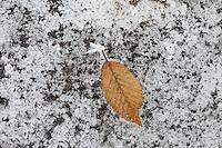 Winter scene hoar frost on hornbeam leaf on frozen pond in The Cotswolds, UK
