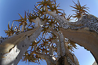 Quiver tree (Aloe dichotoma), Namib-Naukluft National Park, Namib Desert, Namibia.