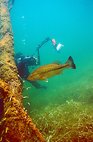 Underwater Scene (Diver photographing largemouth bass)<br />