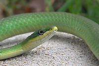 Rough Green Snakes are found throughout the Mid-Atlantic and Southeast from the Pine Barrens of New Jersey west to central Texas and south throughout Florida.