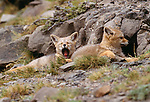 Argentine gray fox kits, Torres del Paine National Park, Chile