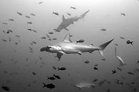 Scalloped hammerhead sharks (Sphyma lewini) swim through a school of tropical fish at the Cocos Island off the coast of Costa Rica.
