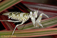 "0223-07mm  Spiny Flower Mantis (#9 Mantis) - Pseudocreobotra wahlbergii ""Female"" - © David Kuhn/Dwight Kuhn Photography"