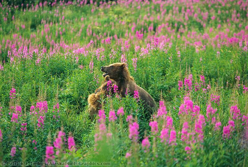Kodiak brown bears play fight in a field of fireweed blossoms on Kodiak Island.