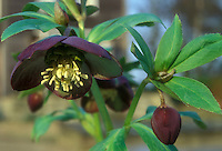 Helleborus purpurascens species hellebore