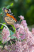 Monarch Butterfly on Eupatorium cannabinum, commonly known as Hemp-agrimony flowers (Eupatorium) in late summer