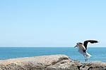 Gaivota levantando vôo de uma pedra na praia de Itapoá, litoral norte de Santa Catarina, Brasil