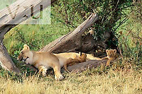 A female lion and six week old cubs. ,Panthera leo, Masai Mara, Kenya