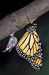 Monarch Butterfly, Danaus plexippus, drying out, just hatched pupae chrysalis, lifecycle, metamorphosis sequence.USA....