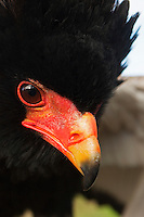 Bateleur Eagle (Terathopius ecaudatus) beak and eye. Captivity.
