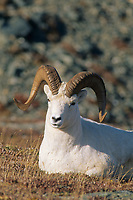Dall sheep ram rests on a mountain ridge, Alaska mountain range, Denali National Park, Alaska.