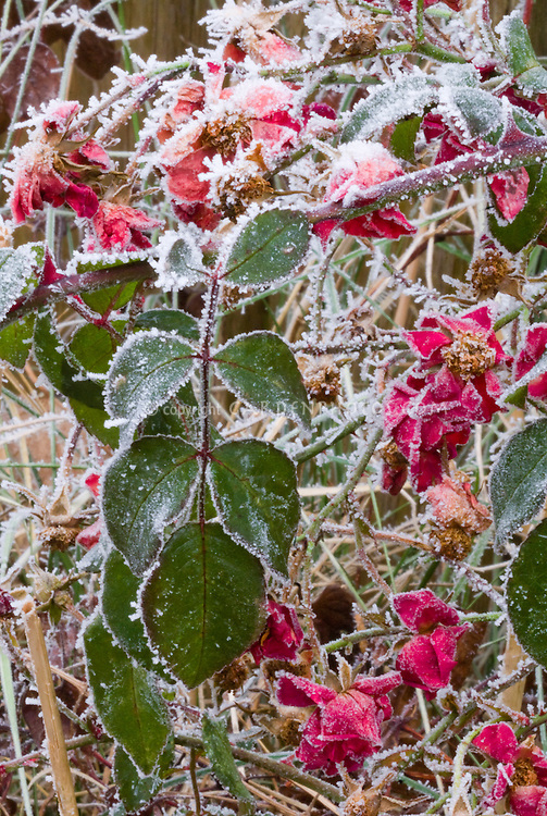 Rose bush in winter frost snow (Rosa)