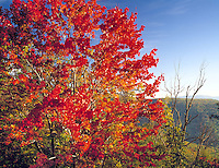 Maple tree at Skyline Drive  Shenandoah National Park, Virginia  Appalachian Mountains  Morning   October