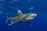 The Oceanic Whitetip Shark, Carcharhinus longimanus, is one of the few truly pelagic sharks, rarely coming within sight of land. Once common throughout the world's deep tropical and subtropical seas, their population has been decimated by commercial fishing in recent years, particularly longlining.  Bahamas, Atlantic Ocean