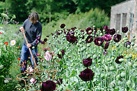 Papaver somniferum (Opium Poppies) with Dan Hoeing in the background