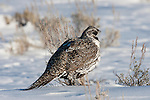 Portrait of a male greater sage-grouse walks through snow in Grand Teton National Park, Wyoming.
