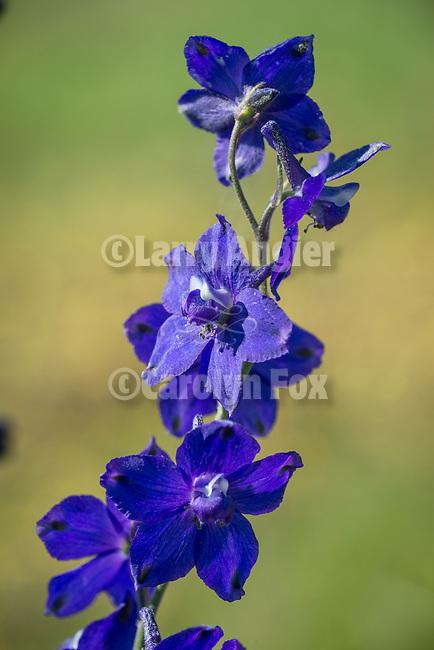 Larkspur wildflowers, Salt Spring Valley, Calif.