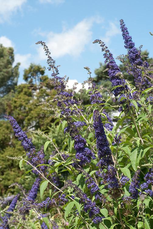 Butterfly Bush Buddleja davidii 'Blue Horizon against blue sky and clouds on summer day