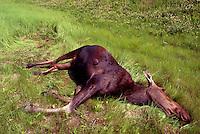 Roadkill Carcass of Moose Cow (Alces americana) - North America