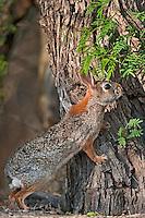 673280046 a wild desert cottontail rabbit sylvilagus audubonii on santa clara ranch hidalgo county rio grande valley texas united states