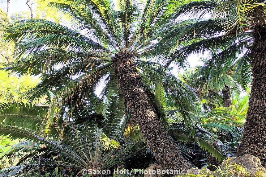 Cycads, Cycas revolulta and Encephalartos transvenosus. prehistoric plants at Huntington Botanic Garden, southern California