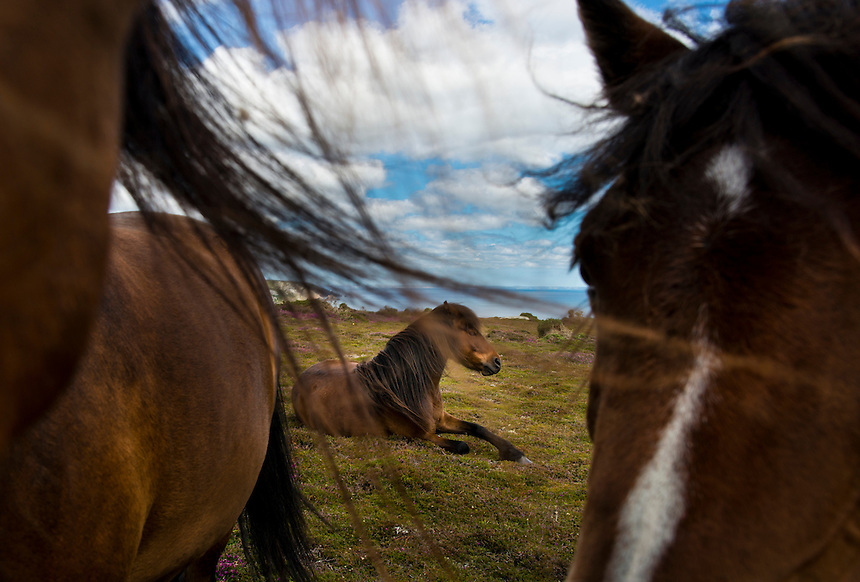 Wild ponies on the walk from Lamorna to Porthcurno, Cornwall, England