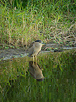 Black-crowned Night Heron in the Myakka River