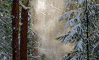 Snow drifts down from branches above through a shaft of sunlight near Boulder Creek in Washington State.