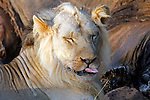 Africa, Kenya, Meru. Lion licking his lips while feeding on the carcass of an elephant.