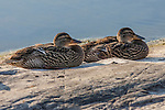 Mallard Ducks on a rock