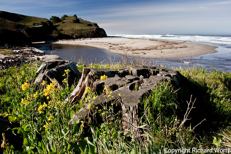 Weathered stumps surrounded by grasses and yellow Field mustard mark where two trees once towered over the beach and lagoon at San Gregorio State Beach, California.