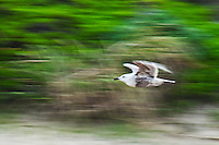 A gull in flight against a verdant background at Pigeon Point State Historic Park on California's coast.