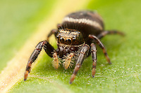 Jumping Spider (Phidippus clarus) - Immature Female, Ward Pound Ridge Reservation, Cross River, New York