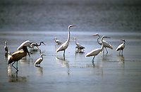 A flock of assorted birds wades in the water near Merritt Island, FL.  (Photo by Brian Cleary/www.bcpix.com)
