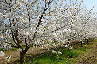Stock Photos of  white cherry blossom on a cherry tree orchard. Funky stock photos library