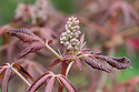 Aesculus pavia, early May. A tree or shrub commonly known as Red Buckeye or Firecracker Plant and native to the southern and eastern parts of the United States.