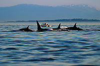 A pod of Killer Whales (Orcinus orca ) pass by a pleasure boat off Victoria, British Columbia, Canada.