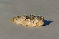 Puffer fish dead on the beach