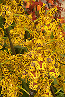 Popular orchid hybrid Colmanara Wildcat in vivid yellow flowers, many on flowers stems