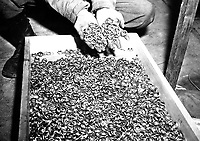 A few of the thousands of wedding rings the Germans removed from their victims to salvage the gold.  U.S. troops found rings, watches, precious stones, eyeglasses, and gold fillings, near Buchenwald concentration camp.  Germany, May 5, 1945.  T4c. Roberts. (Army)<br /> NARA FILE #:  111-SC-206406<br /> WAR &amp; CONFLICT BOOK #:  1130