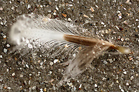 Down feather of a King Penguin on a sand beach (Aptenodytes patagonicus)