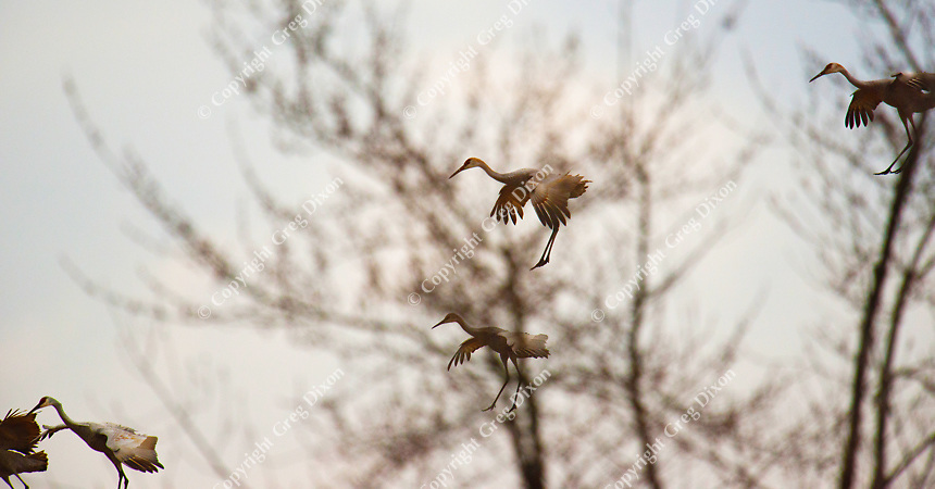 Wisconsin Sandhill Crane Migration | Photos by Greg Dixon