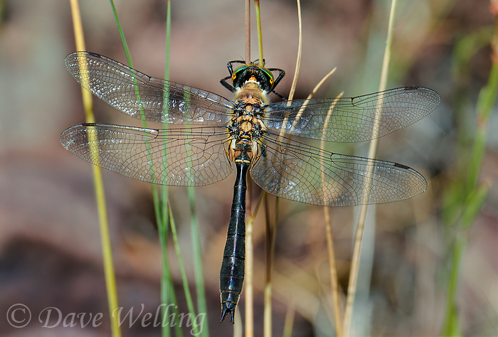 340600002 a wild male american emerald cordulia shurtleffii perches on a plant stem by a pond near cave creek campground in modoc county california