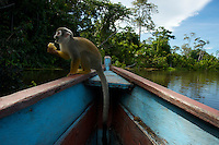 Monkey boards a canoe at Lake Marasha - Amazonas - Peru