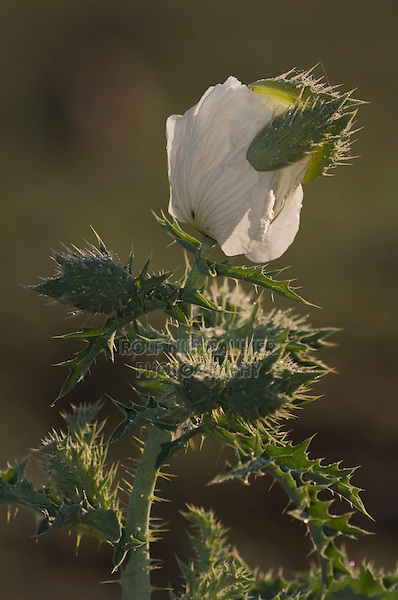 White Prickly Poppy, Argemone albiflora,blossom opens with dew drops, Uvalde County, Hill Country, Texas, USA, April 2006