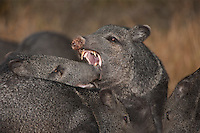 650520148 a herd of javelina or collared peccaries dicolytes tajacu interact on beto gutierrez ranch hidalgo county texas united states